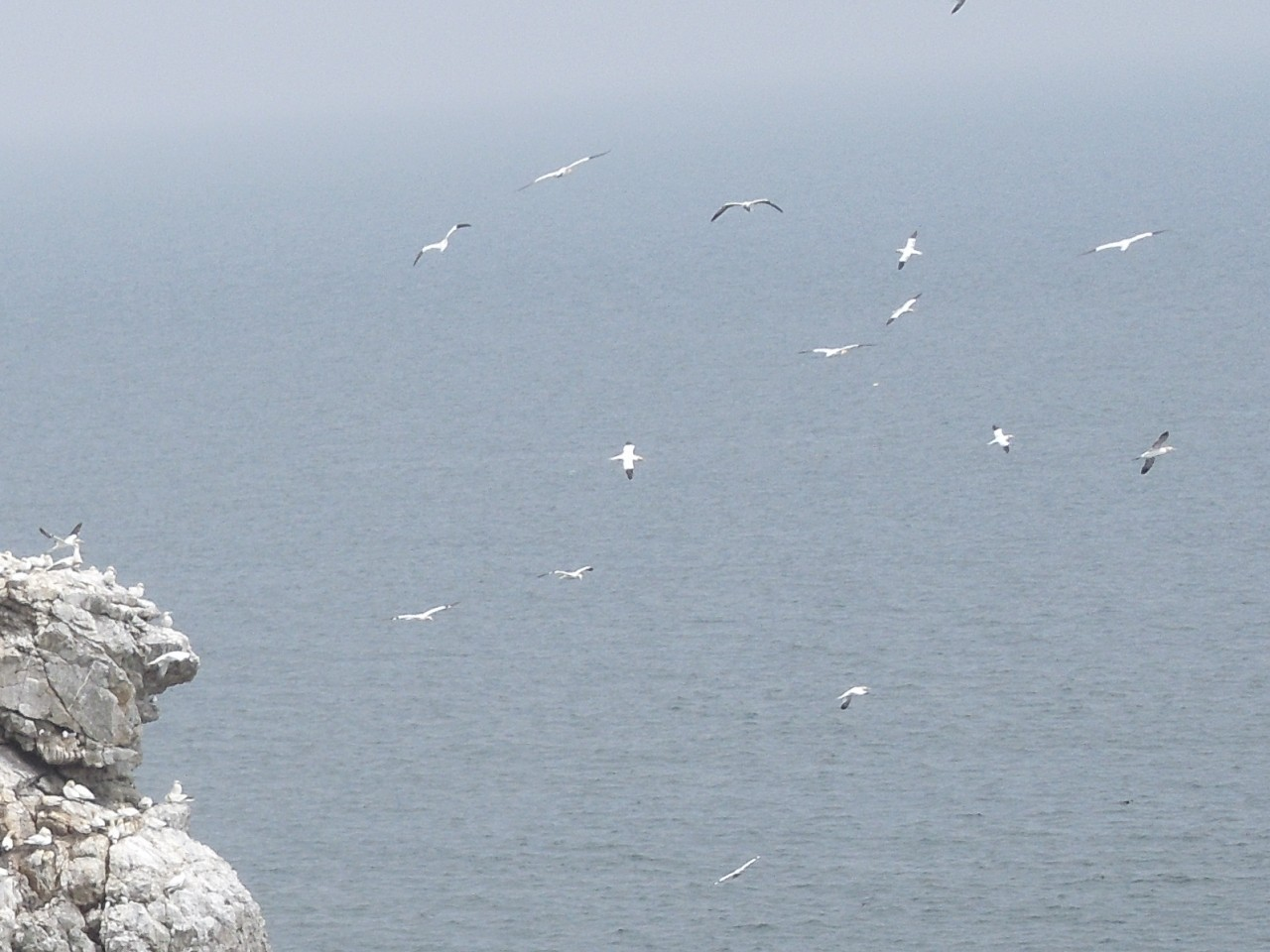 Northern Gannets above Ireland's Eye