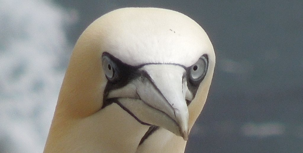 Northern Gannet on the Great Saltee