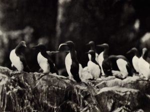Guillemots, Saltee Island - Note bird with fish - Photo: The Islands of Ireland - T.H. Mason